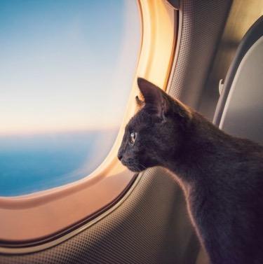 Guía _para _Transporte_Aéreo_de_Mascotas